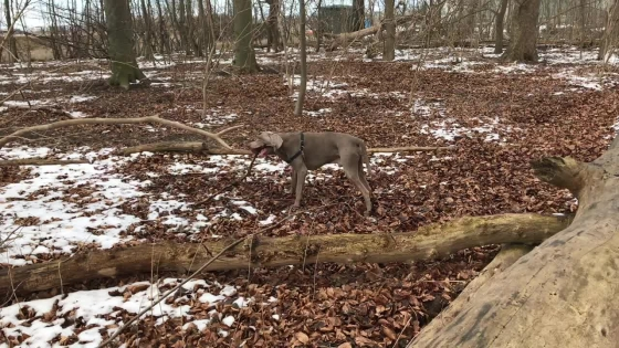 Weimaraner i skog