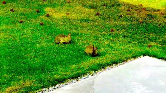 Två Kaniner